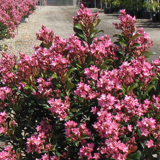 Indian Hawthorn 'Pink Dancer'