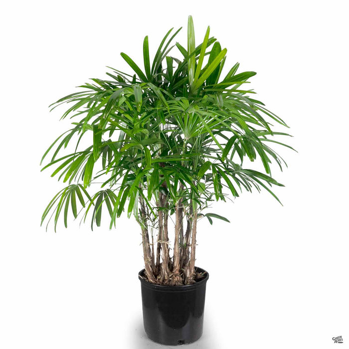 Lady Palm 3 gallon