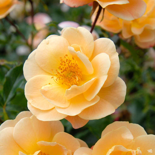 Amber Flower Carpet Rose