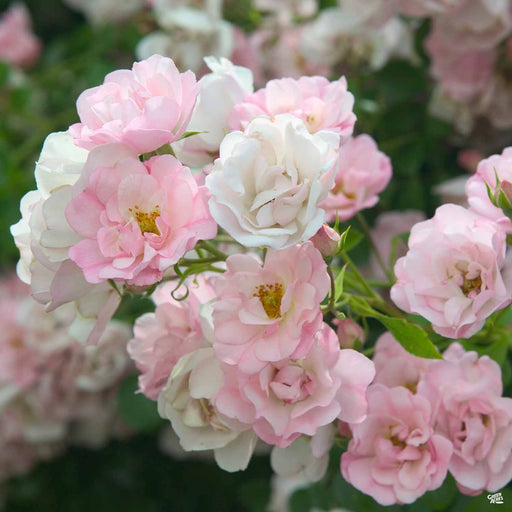 Appleblossom Flower Carpet Rose