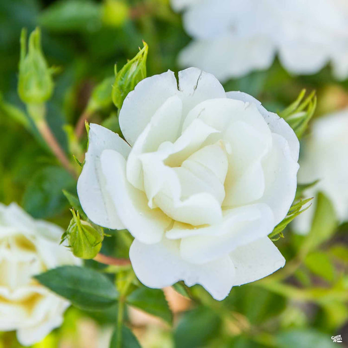 White Flower Carpet Rose