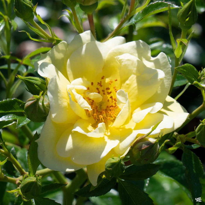 Yellow Flower Carpet Rose