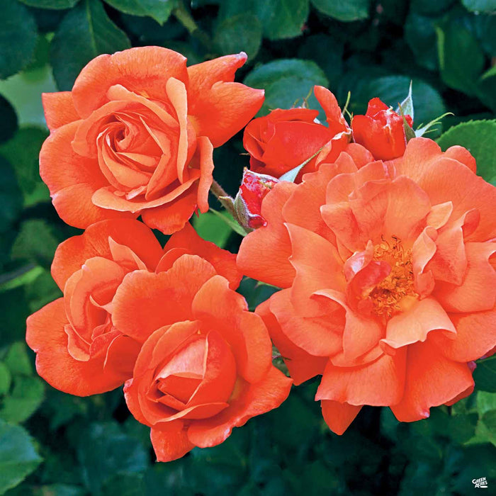 'Above All' Climbing Rose