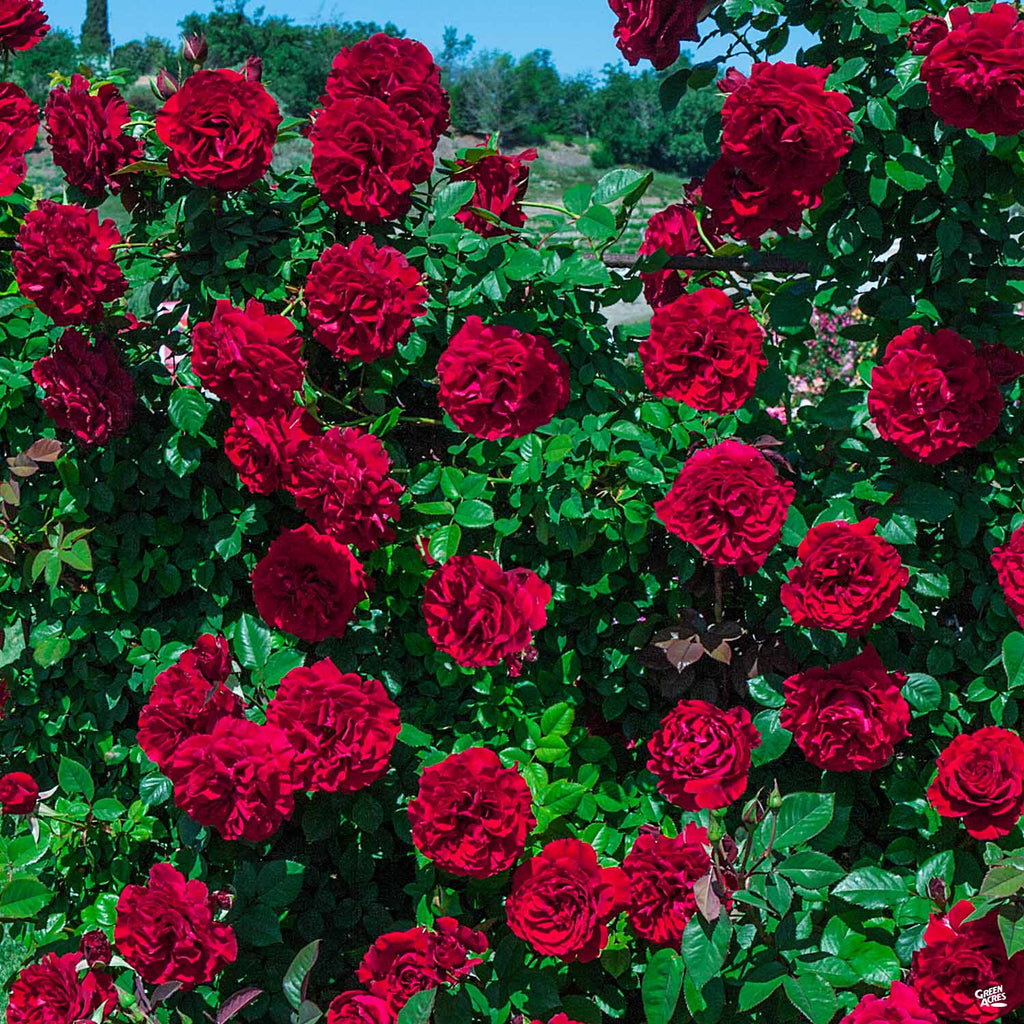 Lady In Red 8482 Climbing Rose Green Acres Nursery Supply