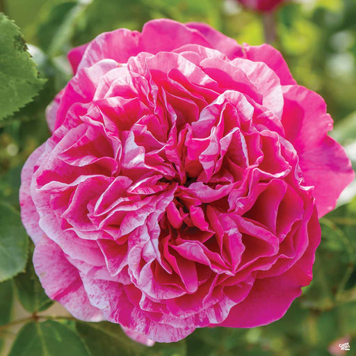 'Raspberry Cream Twirl' Climbing Rose