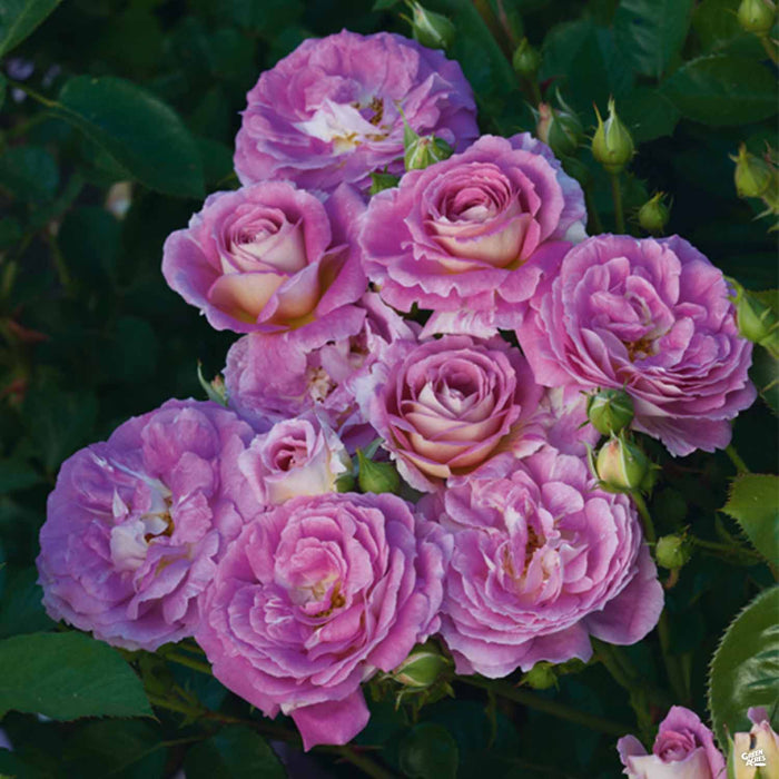 'Arctic Blue' Rose