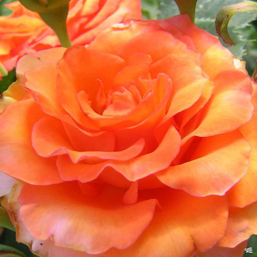 'Gingersnap' Rose