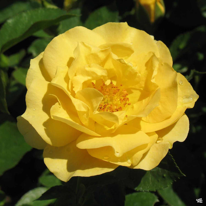 'Julia Child' Rose