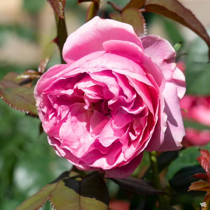 'All Dressed Up' Rose