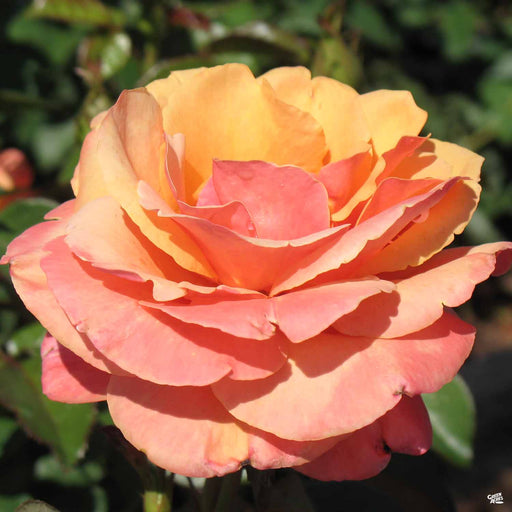 'Anna's Promise' Rose