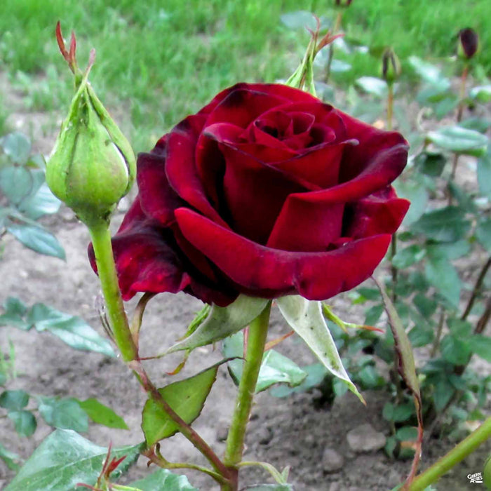 Black Baccara Rose