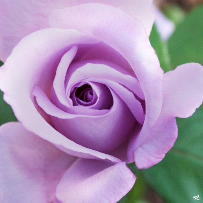 'Blue Girl' Hybrid Tea Rose