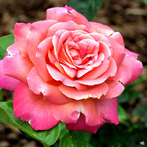 Chicago Peace Hybrid Tea Rose