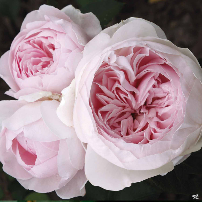 Earth Angel Hybrid Tea Rose