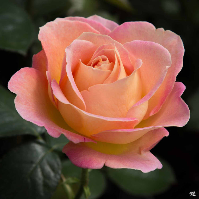 'Elle' Hybrid Tea Rose
