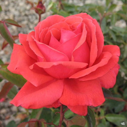 'Fragrant Cloud' Hybrid Tea Rose