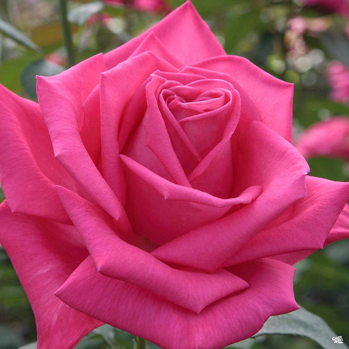 Miss All American Beauty Hybrid Tea Rose