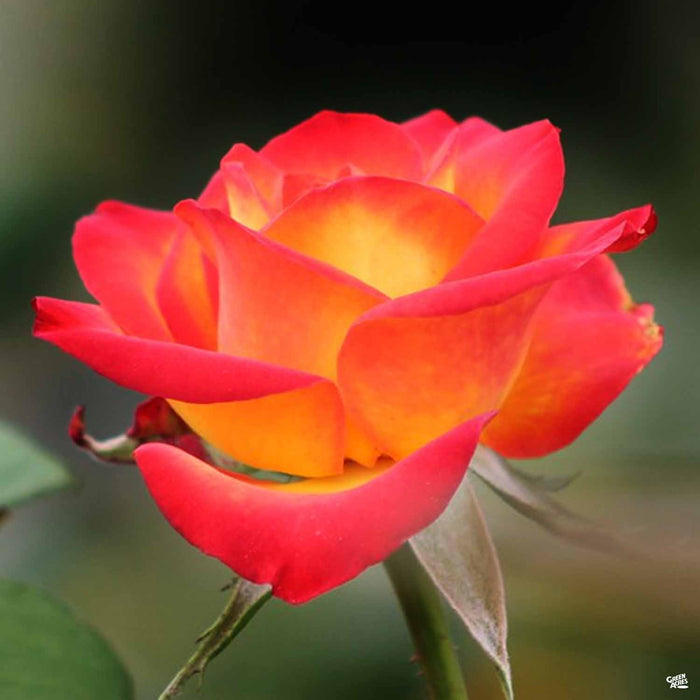 'Perfect Moment' Hybrid Tea Rose