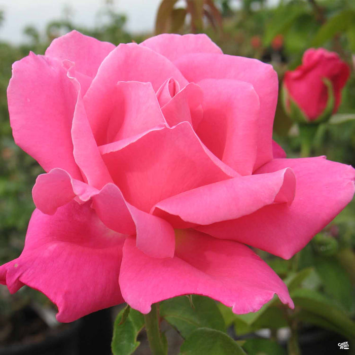 'Perfume Delight' Hybrid Tea Rose