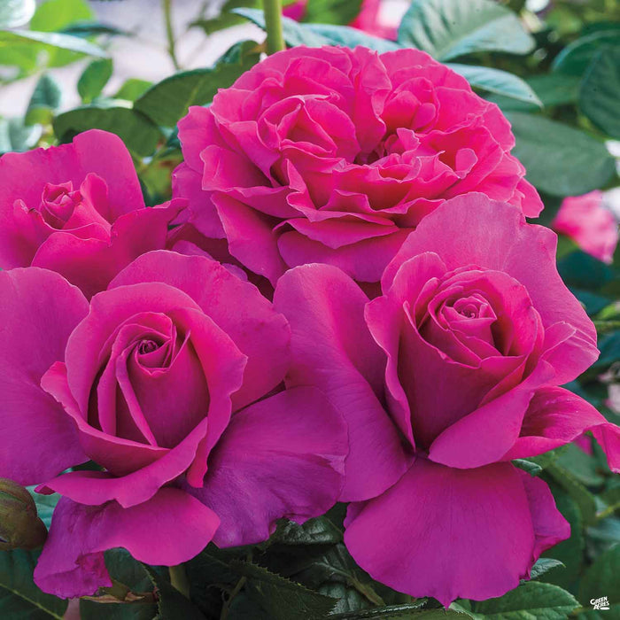 'Pretty Lady Rose' Tea Rose