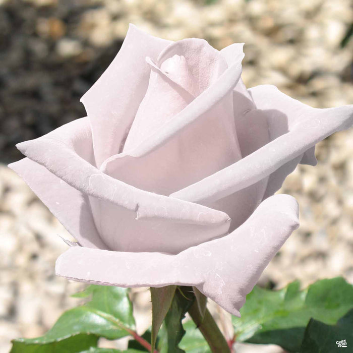 Stainless Steel Hybrid Tea Rose