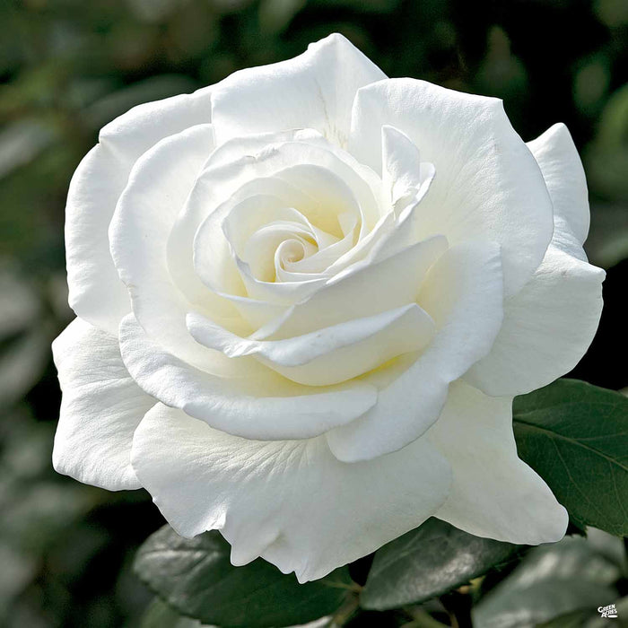 'Sugar Moon' Hybrid Tea Rose
