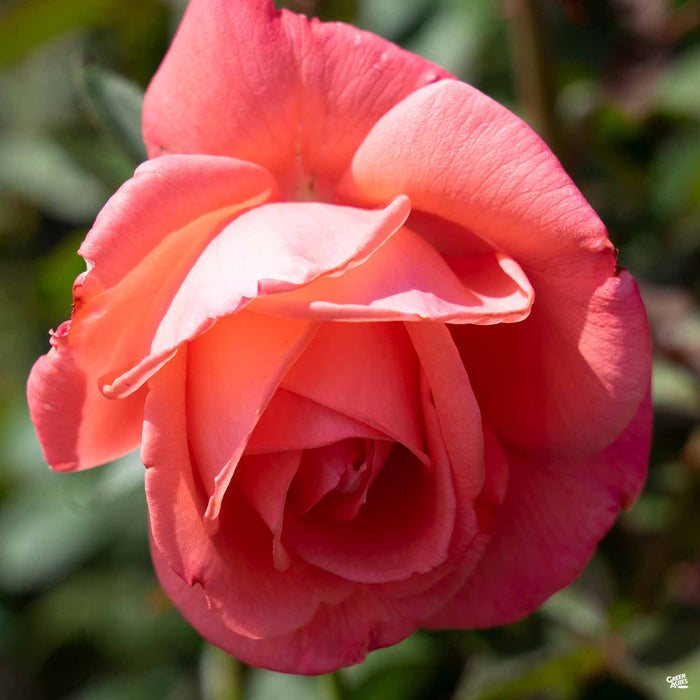 'Tropicana' Hybrid Tea Rose