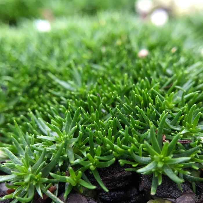 Closeup of Irish Moss