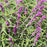 Salvia leucantha, Purple