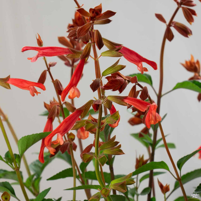 Salvia 'Skyscraper' Orange