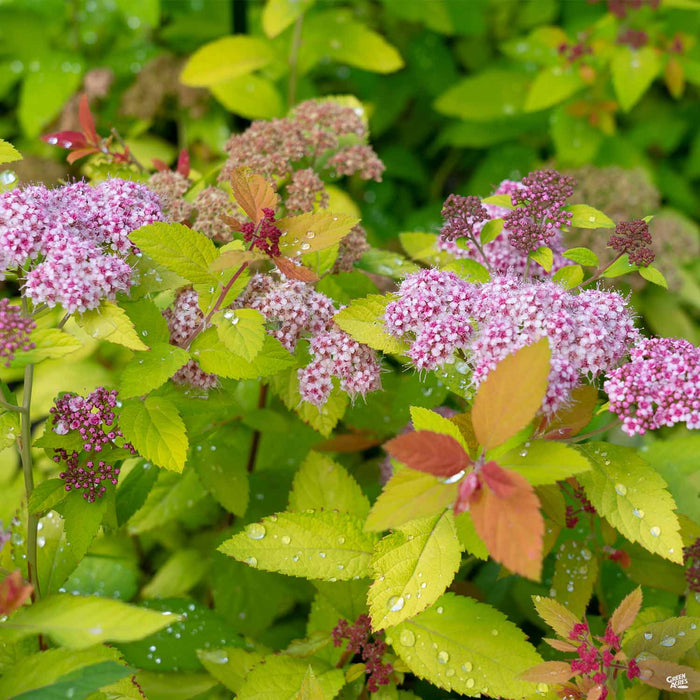 Double Play Candy Corn Spirea blooms