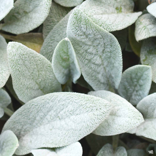 Lamb's Ear 'Silver Carpet'