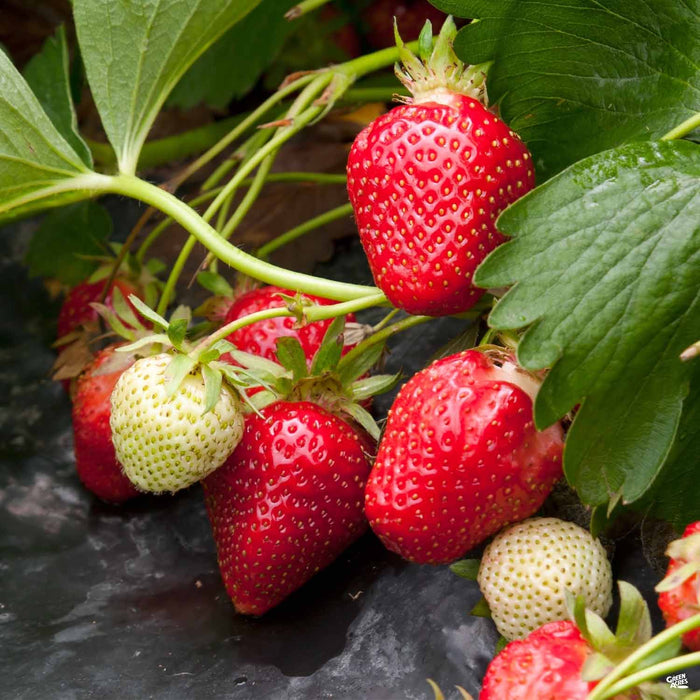 Strawberry 'Quinault'