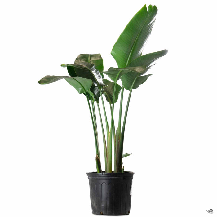 White Bird of Paradise 10 inch
