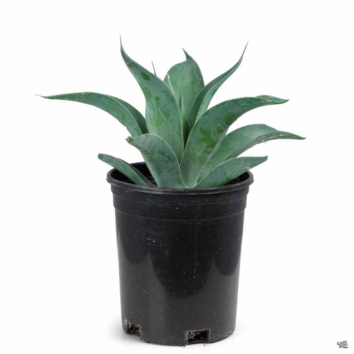 Agave 'Blue Flame' 1 gallon