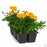Marigold 'Durango Orange' 6-pack
