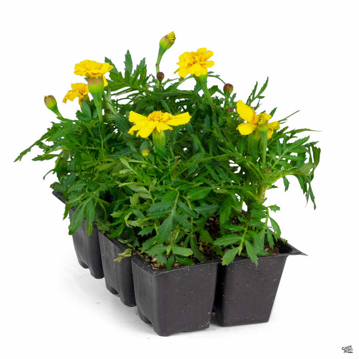 Marigold 'Durango Yellow' 6-pack