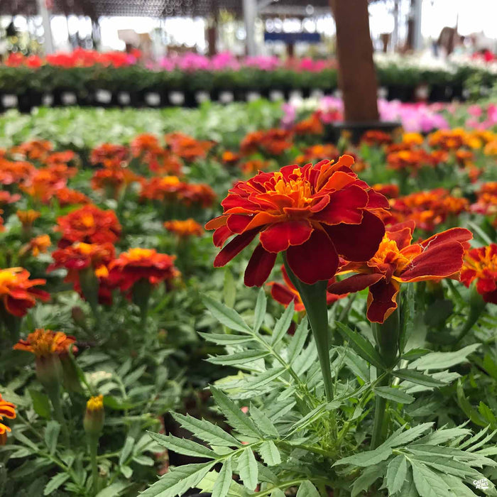 Red and Orange Marigold