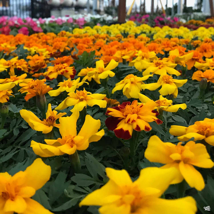 Marigold table at Green Acres Nursery & Supply