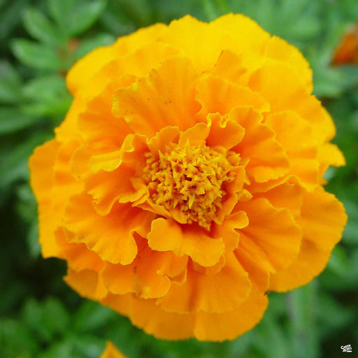 African Marigold 'Taishan' Orange