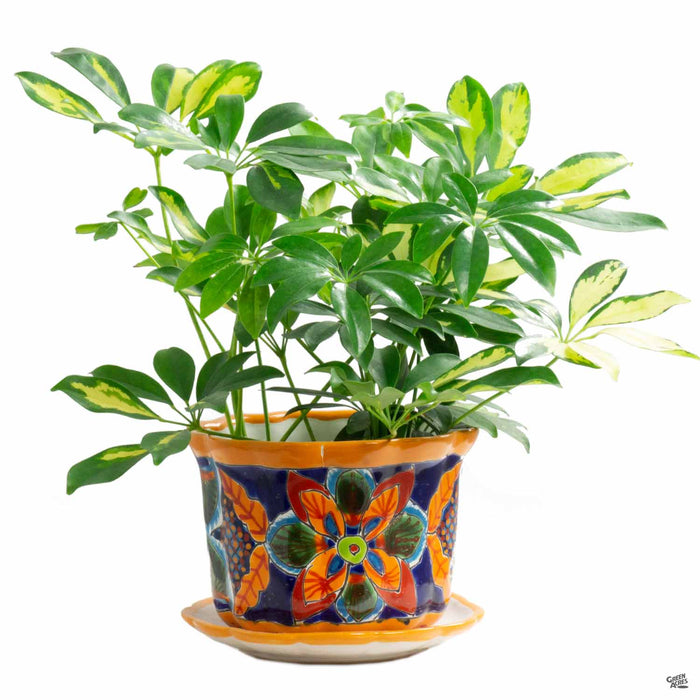 Medium Talavera Pot with Saucer with Plant