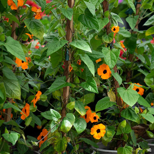 Black-Eyed Susan 'Sunny Orange Wonder'