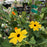 Black-Eyed Susan 'Sunny Susy Yellow Dark'