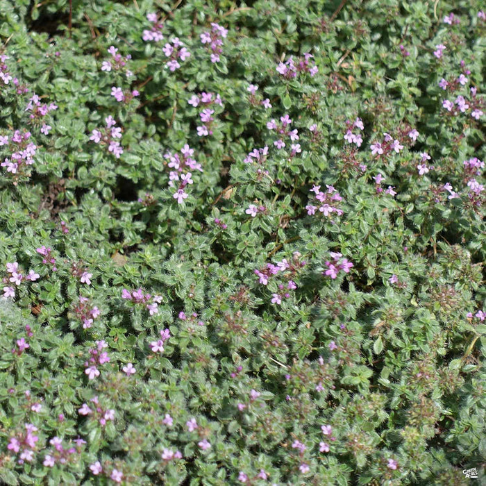Creeping Thyme 'Pink'