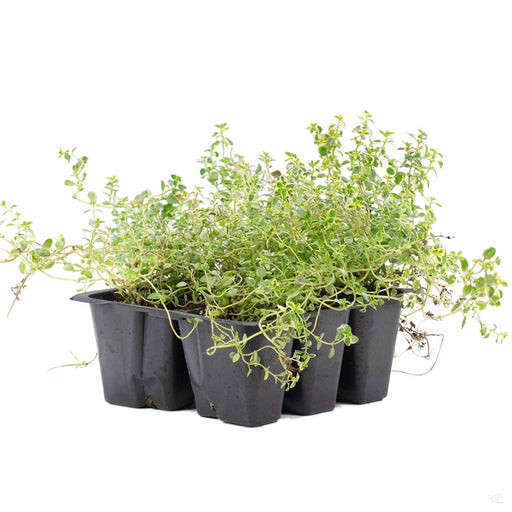 Golden Lemon Thyme 6 pack