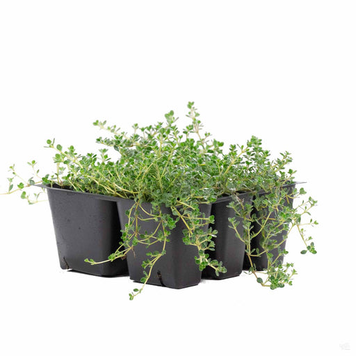 Thyme 'Pink Chintz' 6 pack