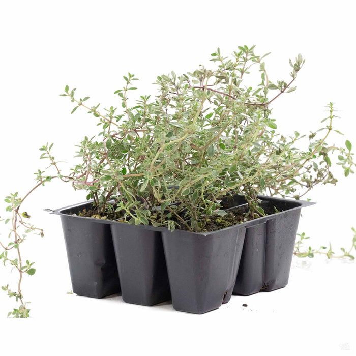 Silver Thyme