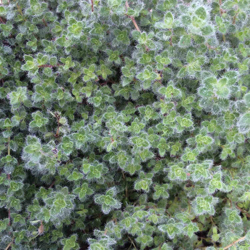 Close up of Thymus 'Woolly Thyme'