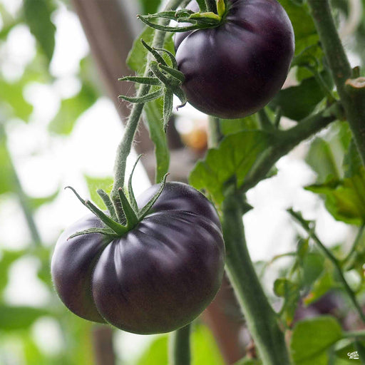 'Black Beauty' Tomato