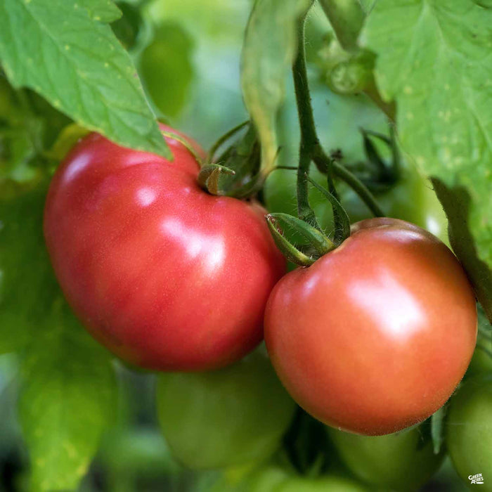 'Pruden's Purple' Tomato
